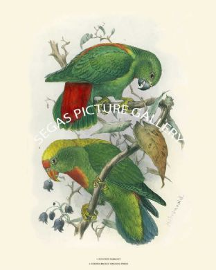 Golden Backed and Sclater's Hanging Parakeet